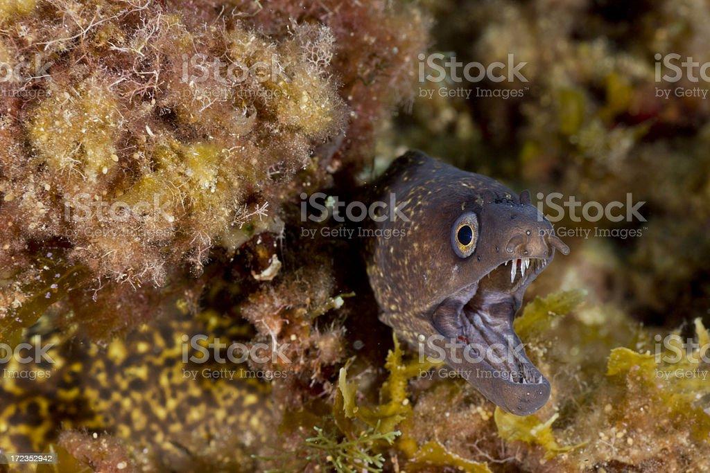 mediterranean moray - muraena helena royalty-free stock photo