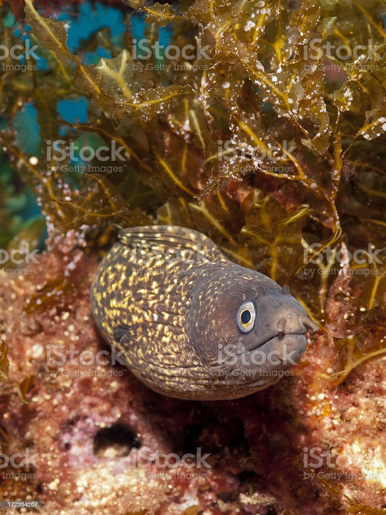 mediterranean moray - muraena helena royalty-free stock photo