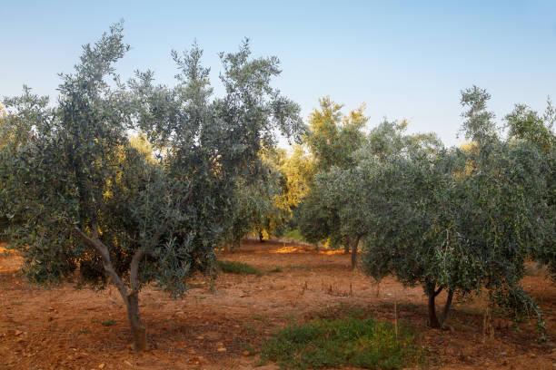 Mediterranean olive garden. Summer landscape background. Summer olives tree farm. Organic fruit. New harvest. stock photo