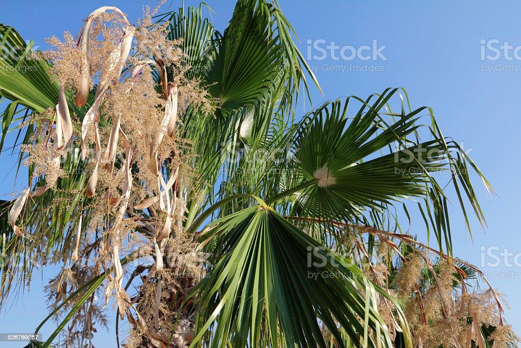 mediterranean palm stock photo