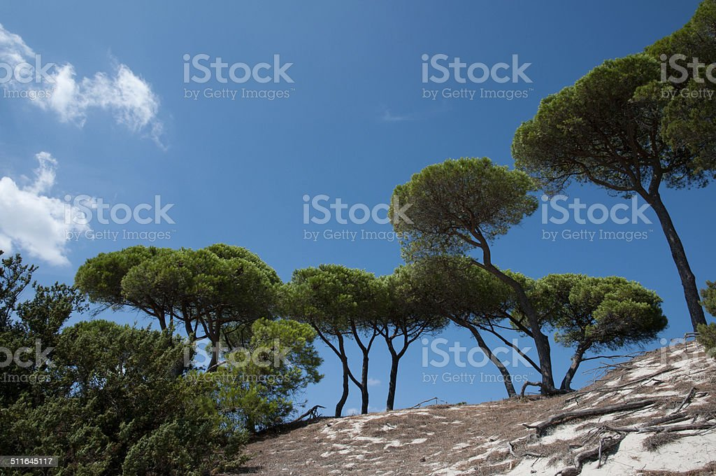 mediterranean parasol pines stock photo