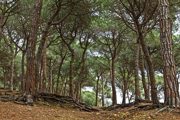 mediterranen pinienwald - ebersberg stock-fotos und bilder