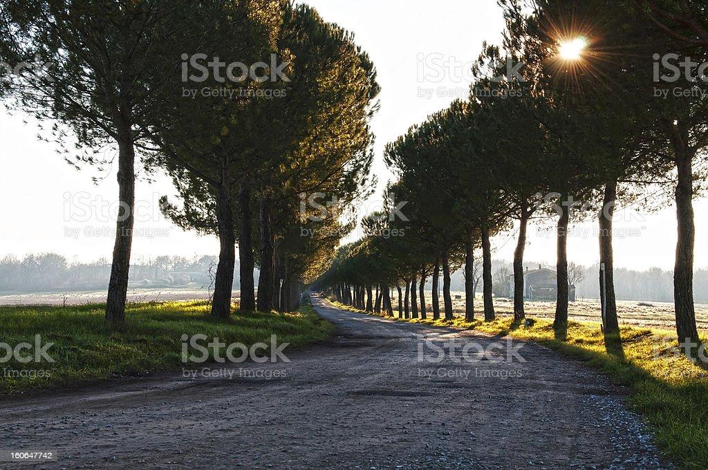 Mediterranean pine tree stock photo