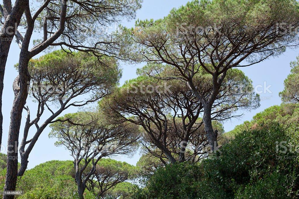 Mediterranean Pines stock photo