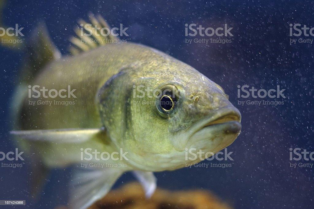 Mediterranean Seabass stock photo