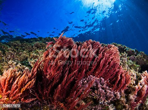 istock Mediterranean seaweeds(Asparagopsis armata) 529517973