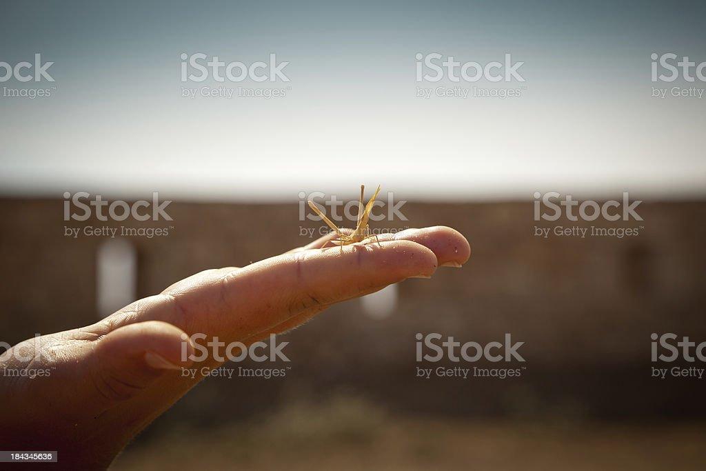 Mediterranean Slant-faced Grasshopper royalty-free stock photo