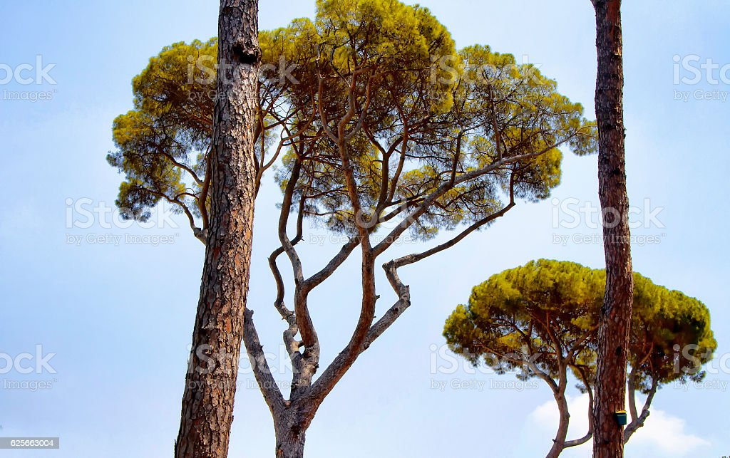 Mediterranean stone pine trees at Borghese Villa garden stock photo