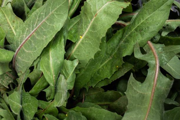 Mediterrane Gemüseanfälle: Wildsee-Radieschen-Sprossen – Foto