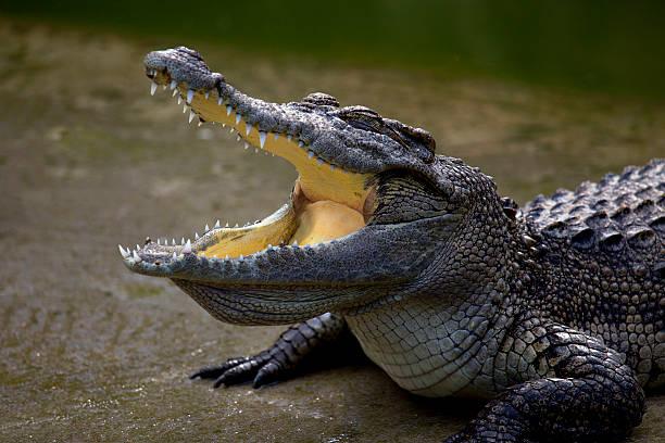 medium shot of crocodile's head stock photo