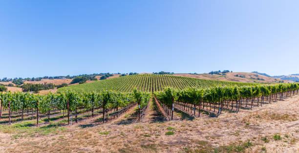 A medium size pano of Sonoma County Vineyard stock photo