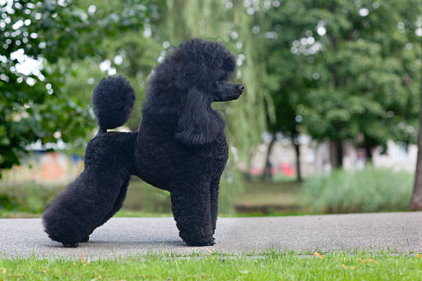 medium size poodle black medium size poodle female poodle stock pictures, royalty-free photos & images