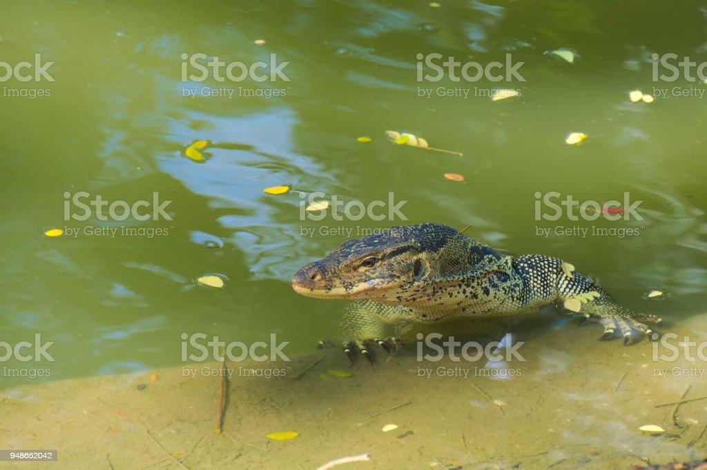 A medium sized, beautiful monitor lizard, at the edge of a man-made...
