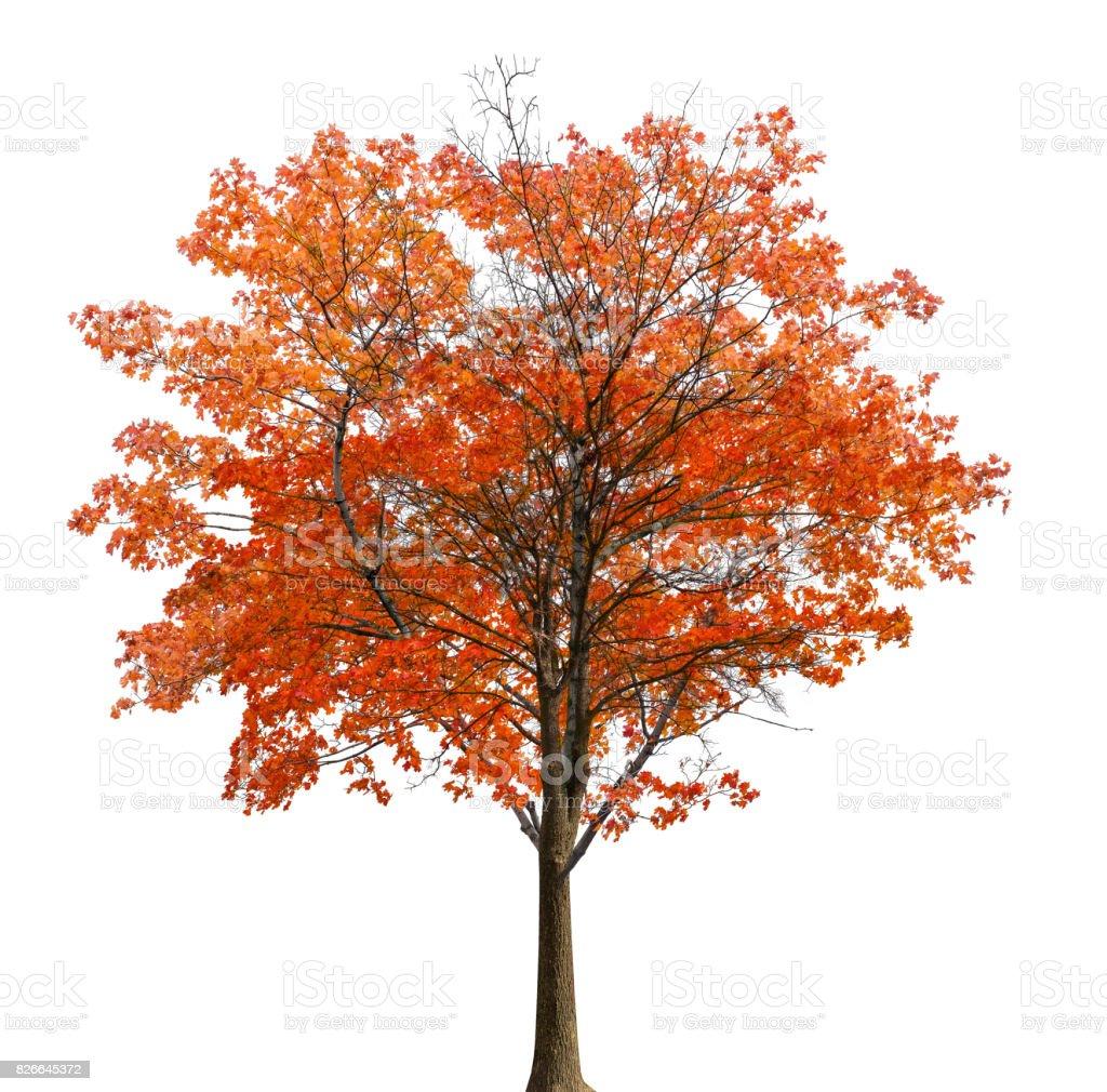 medium straight lush red maple isolated on white stock photo