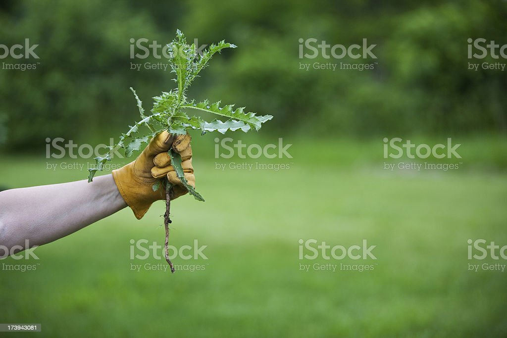 medium thistle in gloved hand horz stock photo