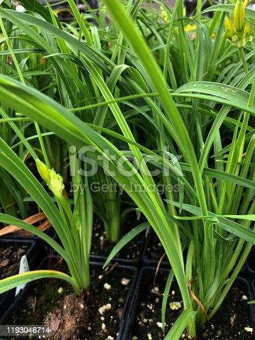 Medium wide shot of Stalks of stella de oro daylily in pots