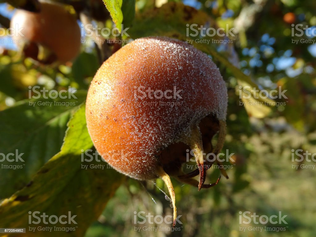 medlar fruit covered by frost stock photo