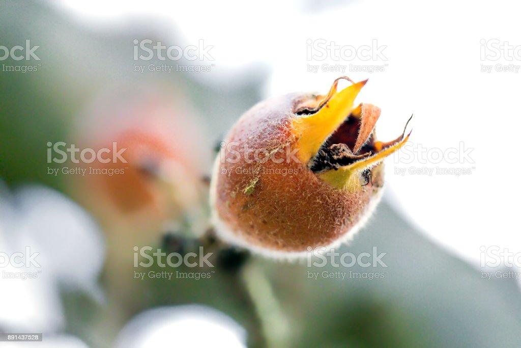 Muşmulası meyve ağacı üzerinde stok fotoğrafı