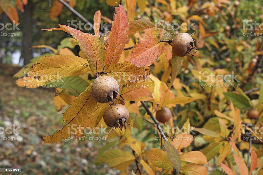 Medlar fruits stock photo