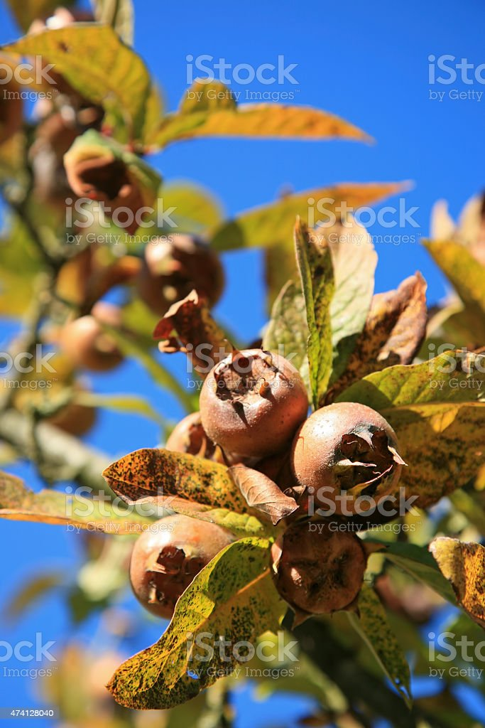 Medlar tree (Mespilus) stock photo