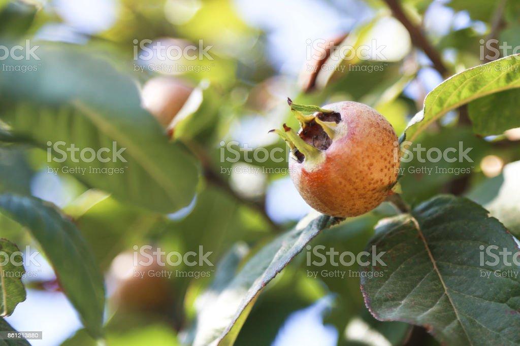 Medlar tree stock photo