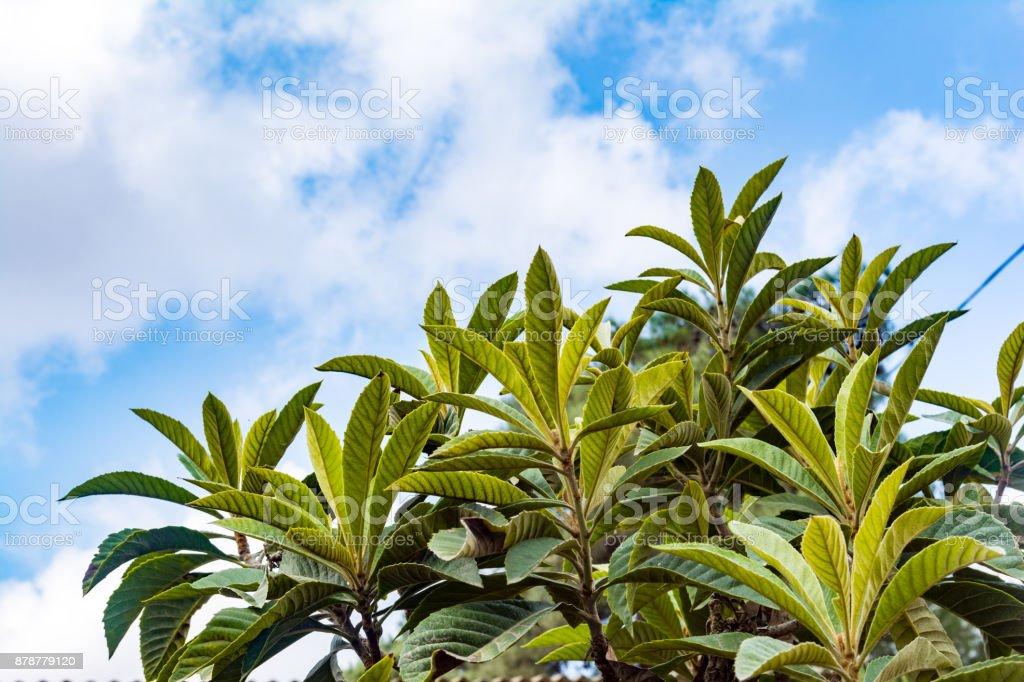 Medlars tree against the sky stock photo