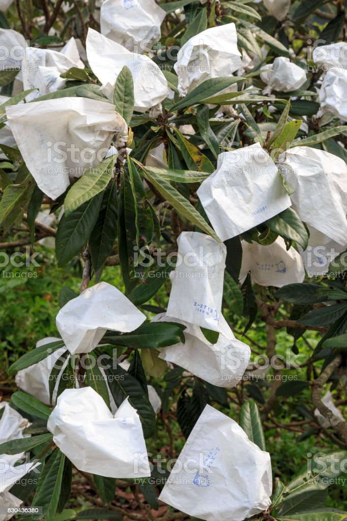 Medlars tree with paper bags before harvest in Japan stock photo