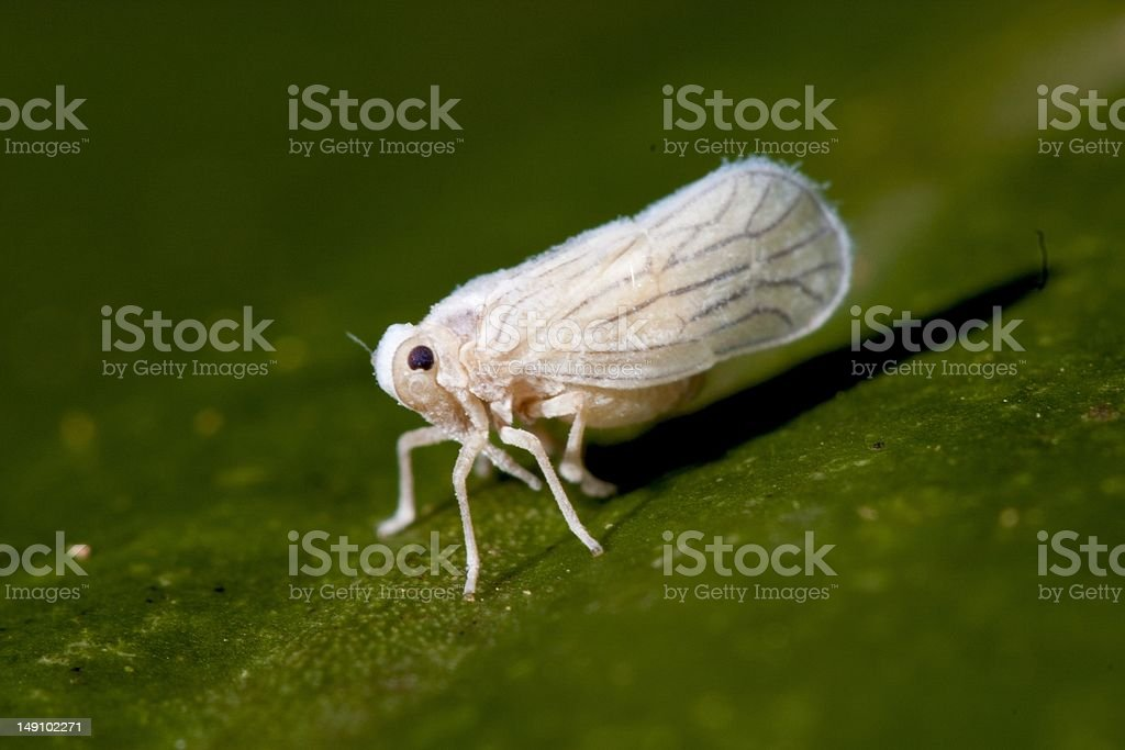 Meenoplidae stock photo
