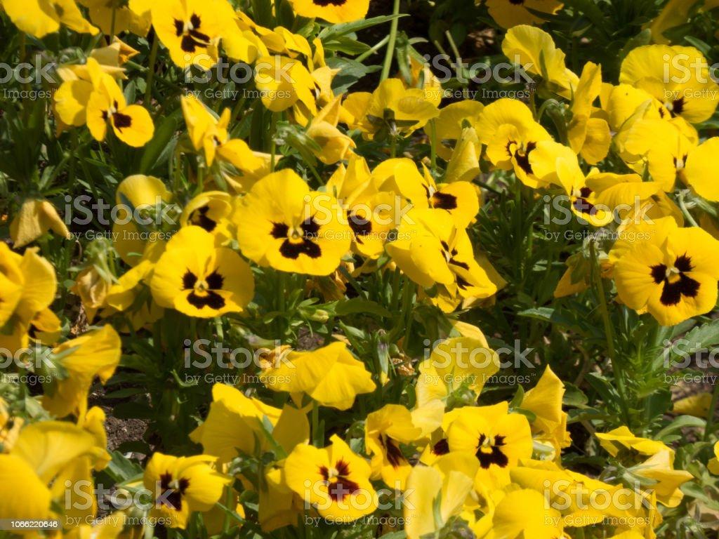 Meer von gelben Blumen. - foto de acervo