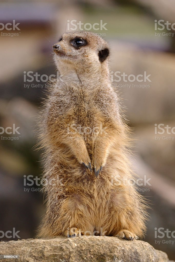 Meercat on watch royalty-free stock photo