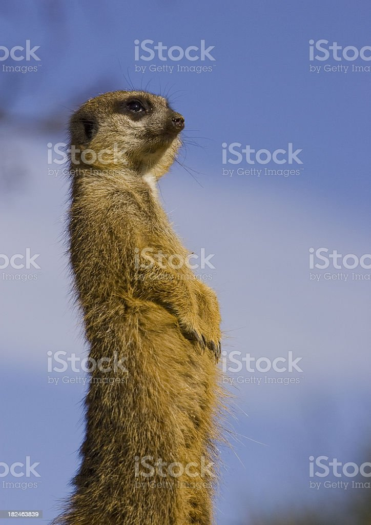 Meercat outlook royalty-free stock photo