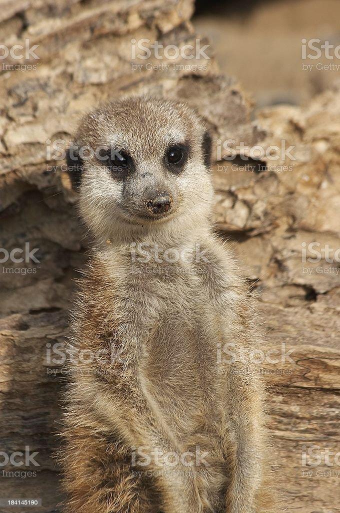 meercat royalty-free stock photo