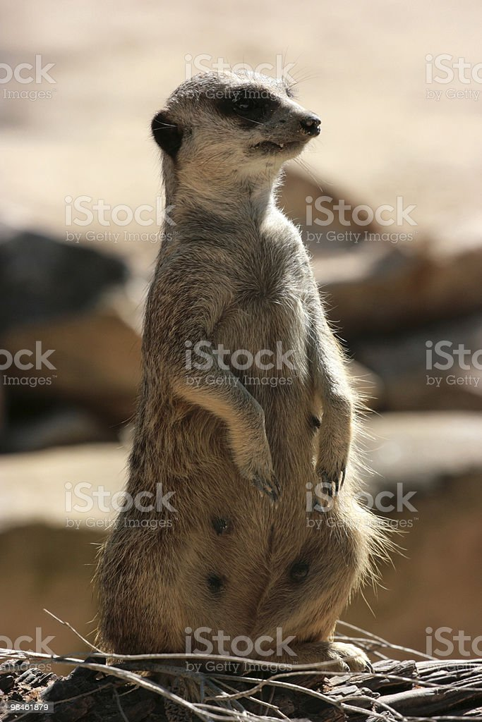 Meercat royalty-free 스톡 사진