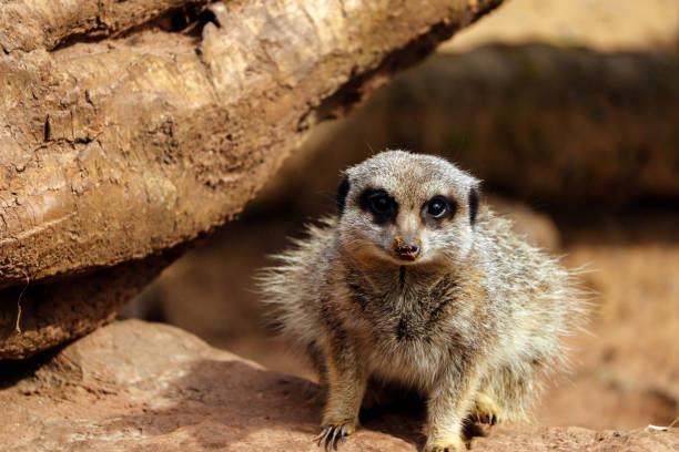 Meerkat at the zoo stock photo