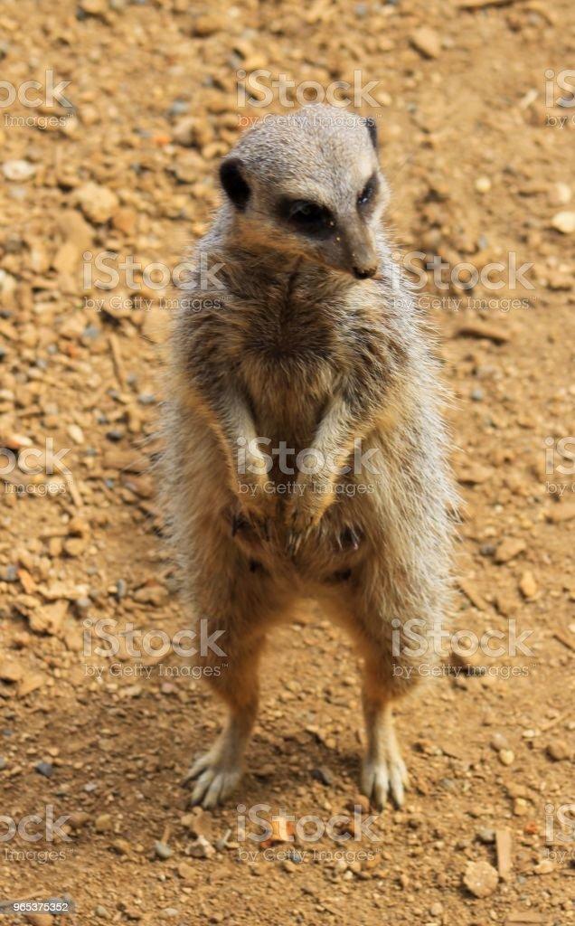 Meerkat 관심 - 로열티 프리 0명 스톡 사진