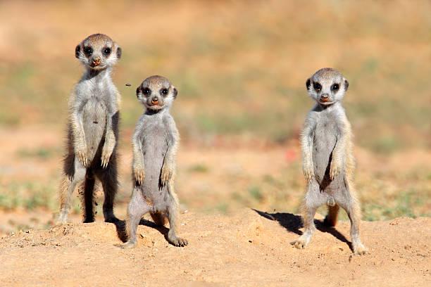 meerkat babies - meerkat stock photos and pictures
