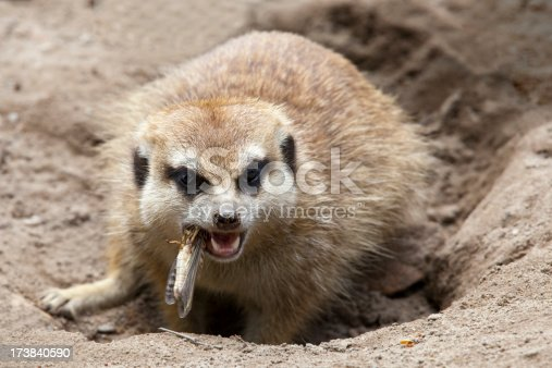 Closeup of a meerkat eating a grasshopper (XL)