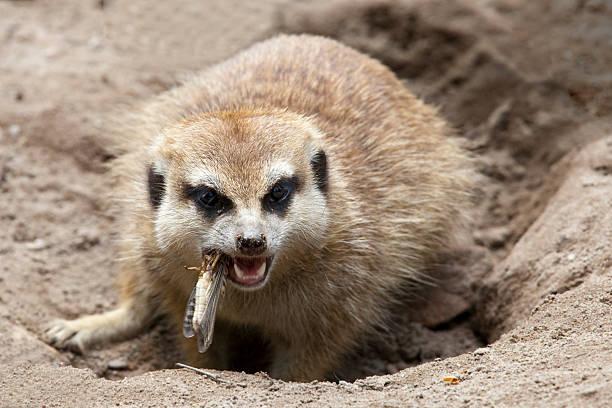 meerkat eating a grasshopper (xl) - meerkat stock photos and pictures