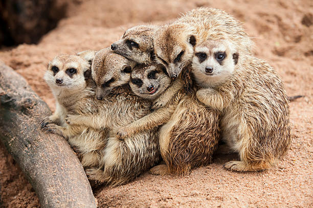 meerkat family huddled together near tree root - meerkat stock photos and pictures
