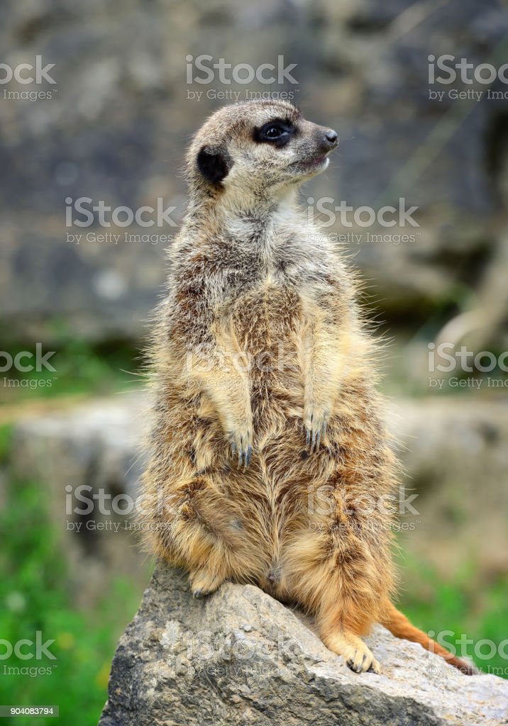 Meerkat family member (Suricata suricatta) on guard stock photo
