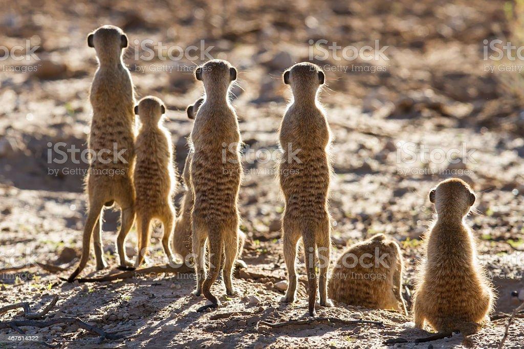 Suricate Familie stehen in den frühen Morgensonne Lizenzfreies stock-foto