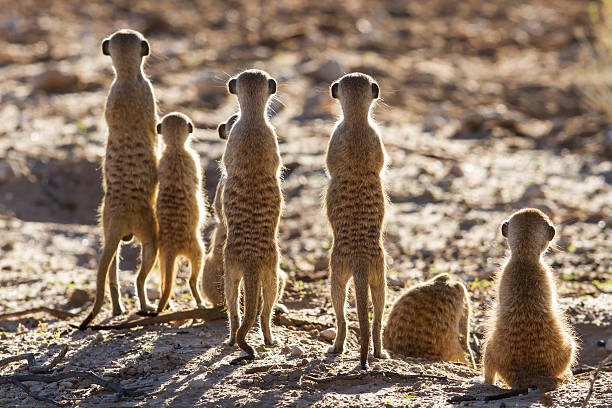 meerkat family standing together in the morning - meerkat stock photos and pictures