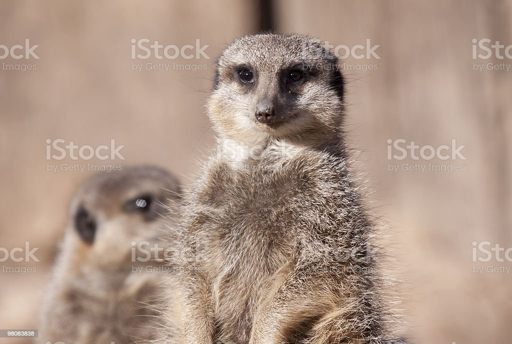 Meerkat from Southern Africa royalty-free stock photo