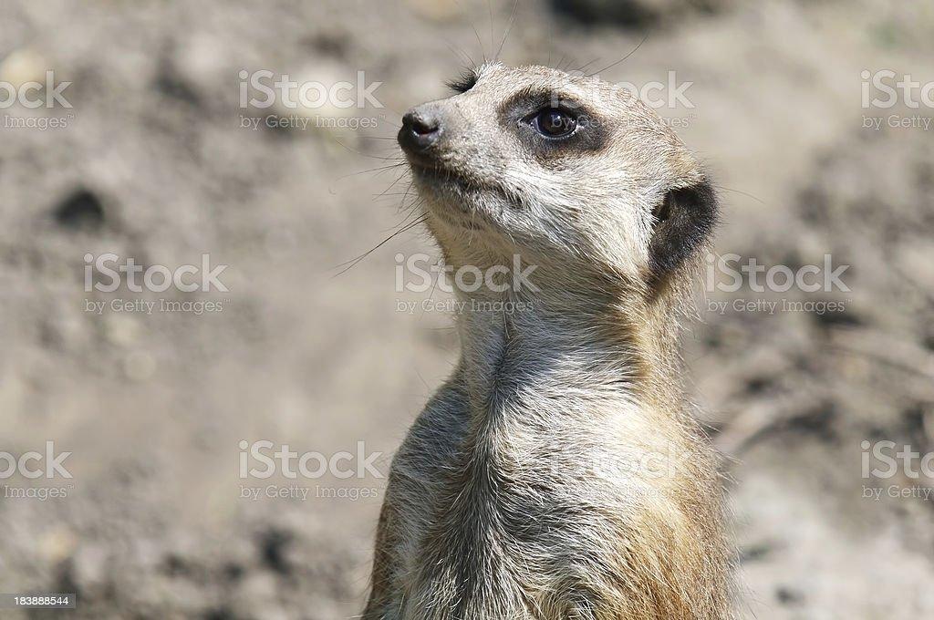 Meerkat guard stock photo