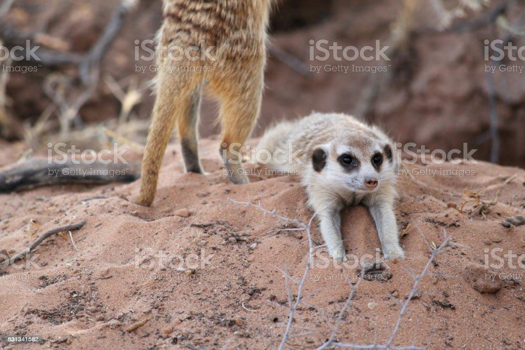 Meerkat in the Kalahari desert stock photo