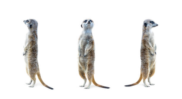 meerkat isolated set - meerkat stock photos and pictures