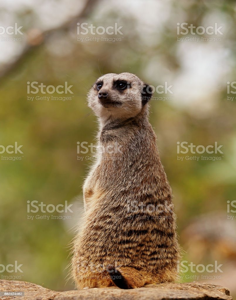 Meerkat looking behind royalty-free stock photo