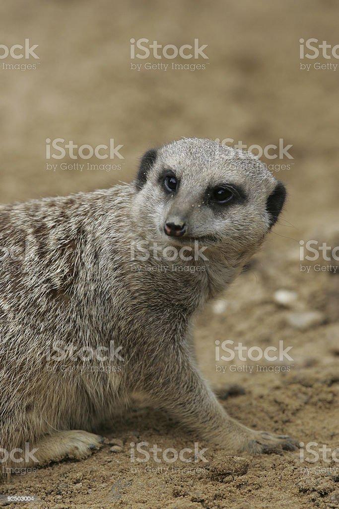 Meerkat looking behind royalty-free stock photo