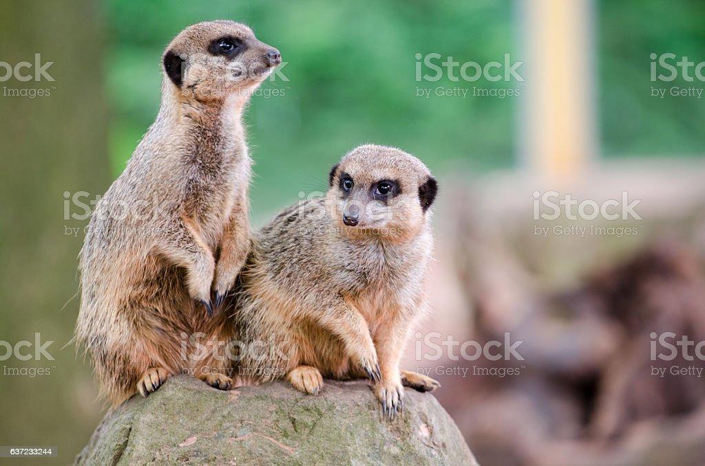 Meerkat Lookout stock photo