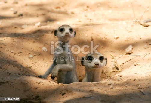 A meerkat mother and pup in there shady burrow in a wild kalahari habitat.